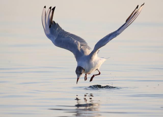 чайка, птица, вода