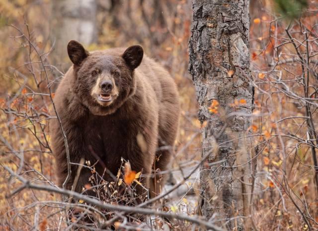 Животное, хищник, медведь, бурый, природа, осень, лес, дерево, ветки
