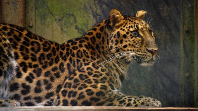 leopard, dovolená, pohled