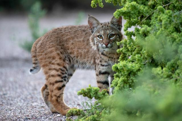 lynx, Wild cat, green plants