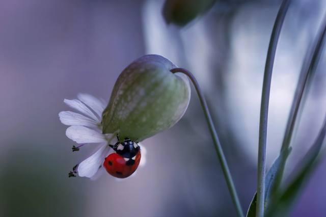 Rina Barbieri, makro, příroda, květina, brouk, beruška