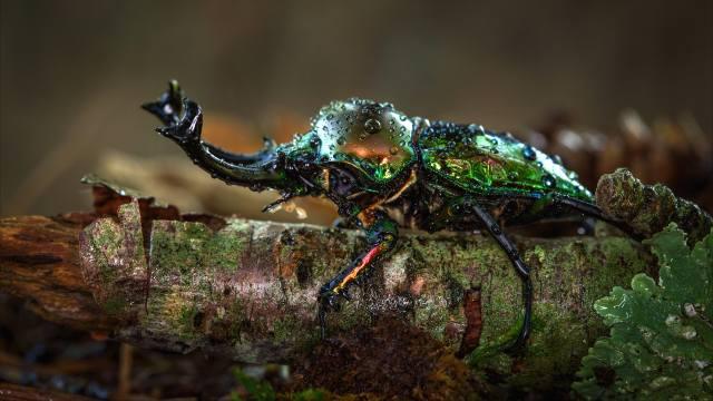 beetle, HORNS, macro, drops