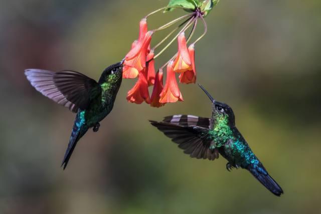 květiny, ptáci, zobák, PÁR, peří, v letu, kolibřík
