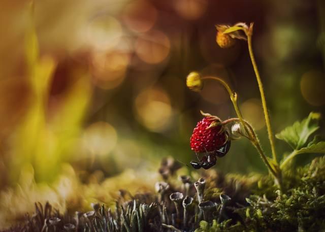 macro, nature, moss, strawberries, berry, ant, bokeh