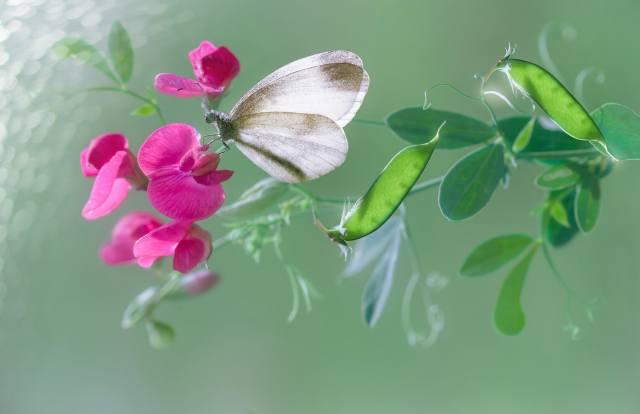 природа, макро, квітка, плоди, горошок, метелик