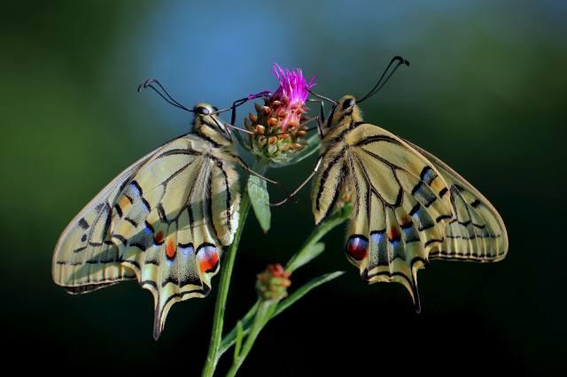 motýli, Papilio machaon, rozostření, pozadí, dva