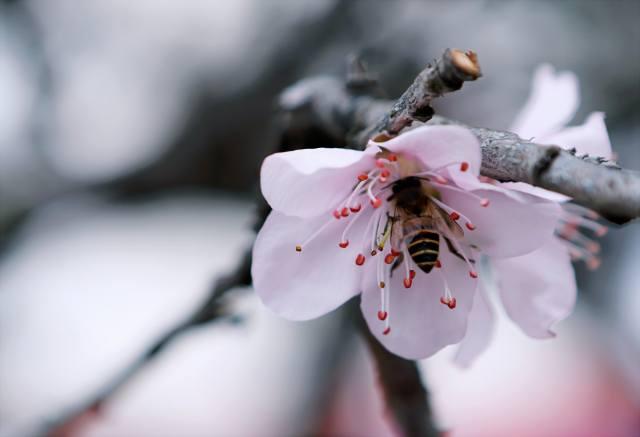 природа, весна, гілка, квіти, цвітіння, комаха, бджола, макро