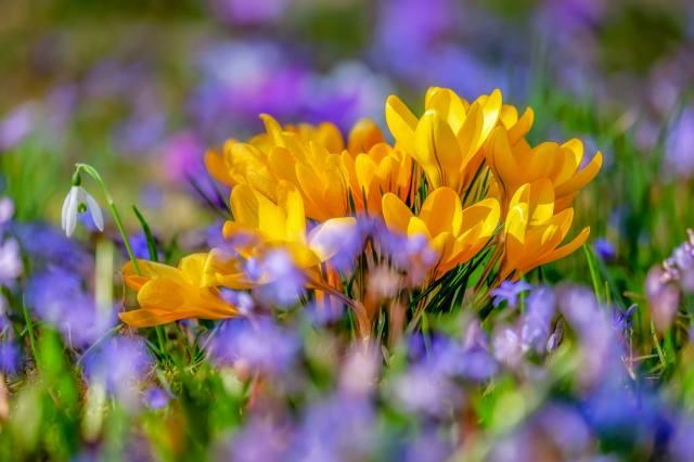 Crocus, flower, цвести, yellow, flora, spring, nature, flowering