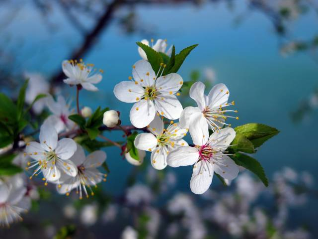nature, spring, branch, cherry, flowering, flowers