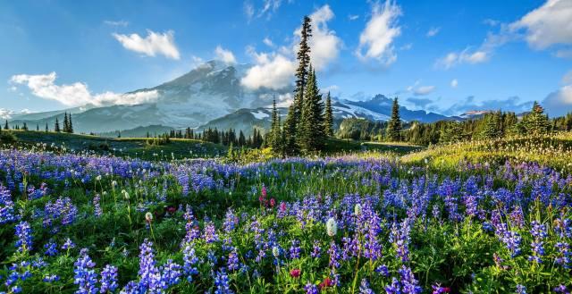 trees, flowers, mountains, glade, Mount Rainier National Park, lupines, National Park mount Rainier