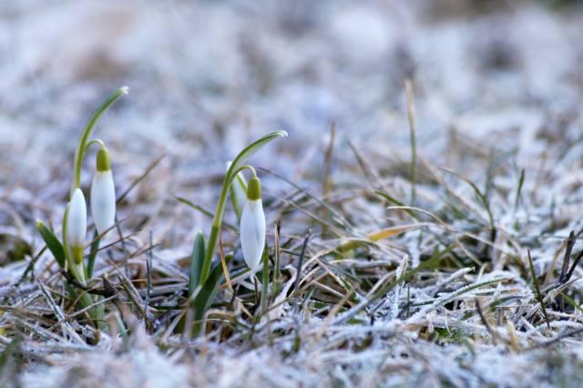 snowdrops, grass, snow, spring