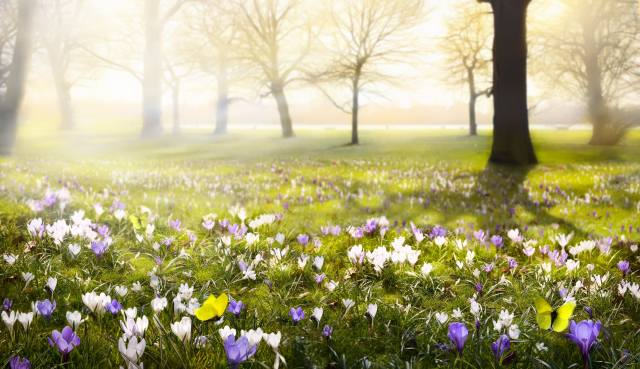 flower, yellow, nature, butterfly, spring, crocuses, flowering