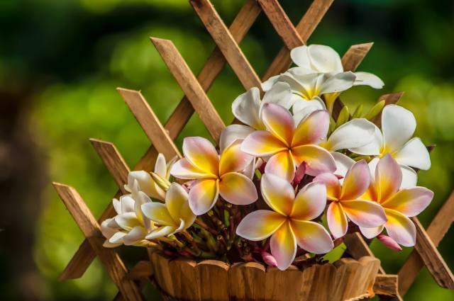 шпалера, pots, plumeria, frangipani, flowers