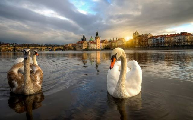 Prague, river, the city, swans