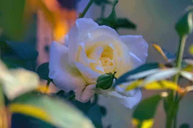 růže, květina, listy