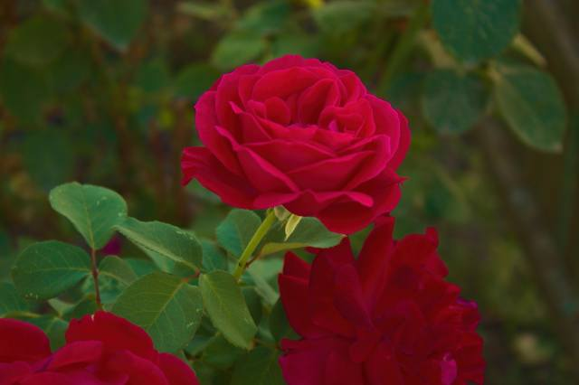 rose, flowers, spikes, leaves