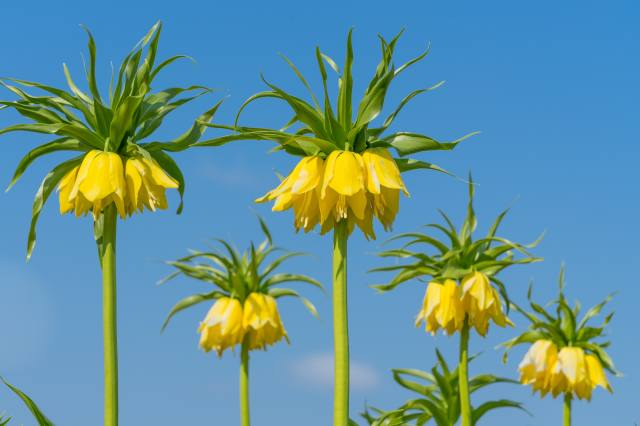 Fritillaria, imperialis, crown imperial, blurred background, yellow, flowers