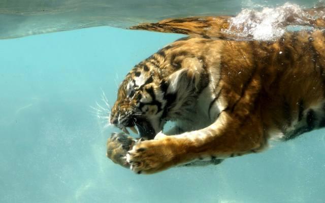 тигр, под водой