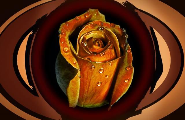роза, краплі, фон
