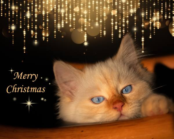 Новий рік, кішка, блакитні очі, відблиски
