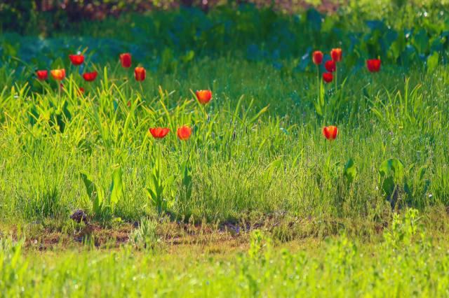 тюльпани, трава, роса