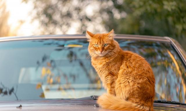 cat, red, Auto, bokeh