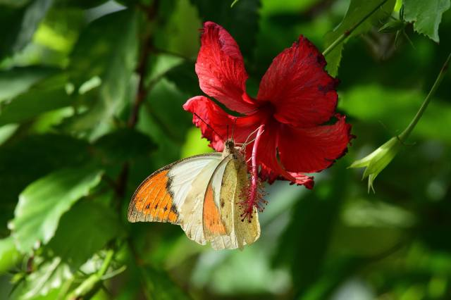 макро, природа, листя, квітка, гібіскус, метелик