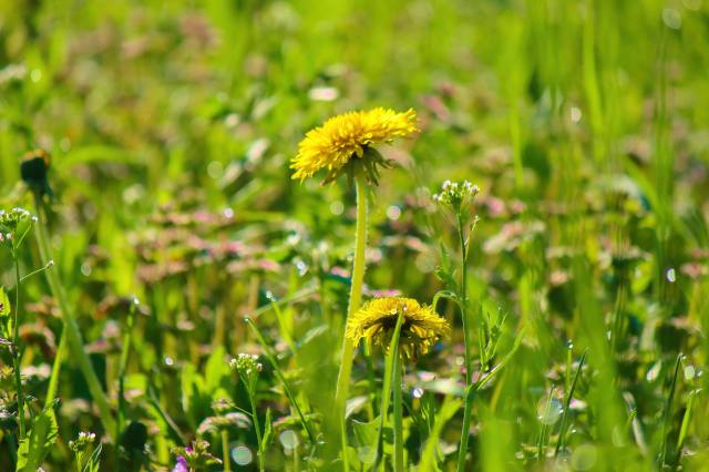 grass, dandelion, spring
