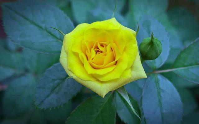 роза, жовта, літо