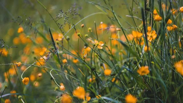 трава, квіти, жовтий, поле, дикий