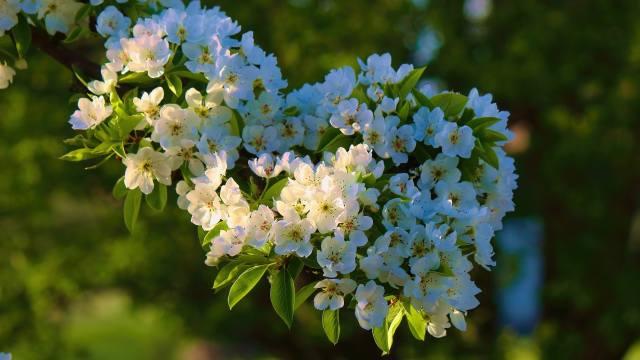 гілка, квітки, дерево