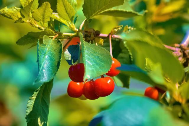 вишня, ягоды, листья, лето, ветка