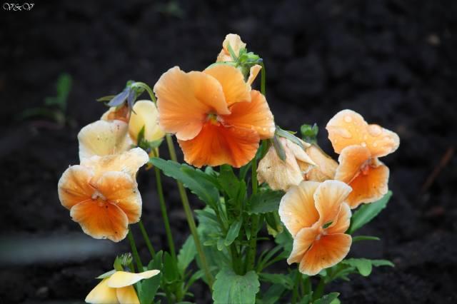 квіти, красиво, весна