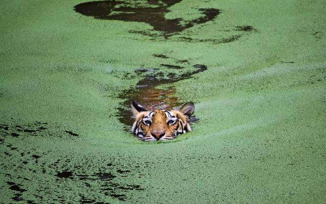 вода, тигр, пливе