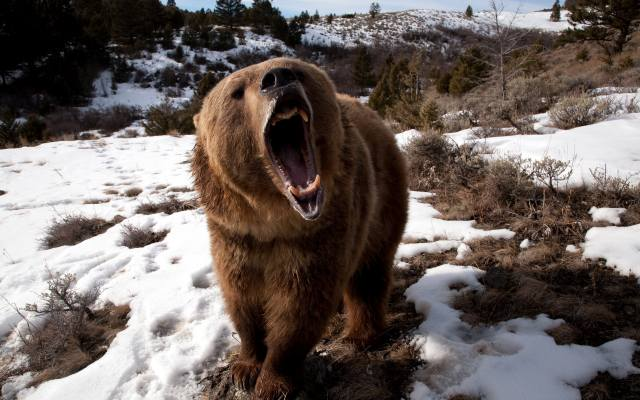 сніг, ведмідь, пащу, ікла