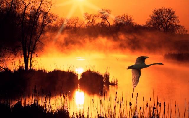 the lake, dawn, the sky, shore, fog, Swan, birds