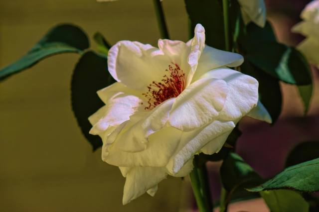 branch, rose, flower, petals