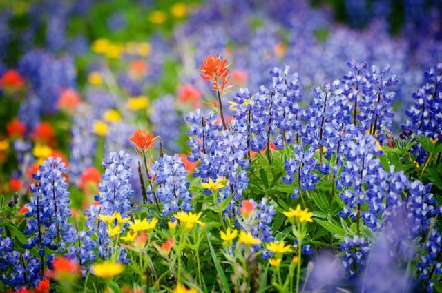 поле, луг, красиво, квіти