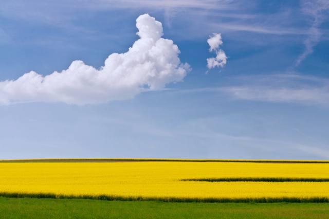 поле, хмари, ріпак