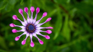 flower, violet, macro, photo, theme, green background, nature