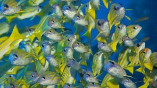 pod vodou, rybky, žluté