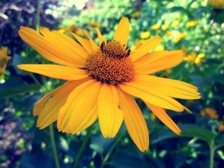 цветок, желтый, природа, макро, солнце