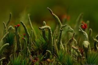 макро мир, Кладония, лишайник, трава
