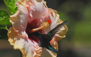 flower, bird, hummingbirds, nature, jungle, macro photo, theme