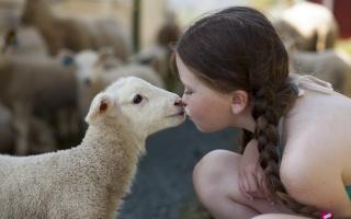 dívka, ovce, náladu, pozitivní