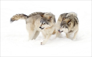 wolves, winter, the situation, aggression, snow, predators, beautiful
