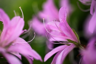 flower, Lily, beauty, petal, macro