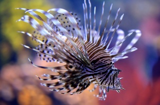 fish, lionfish, beauty