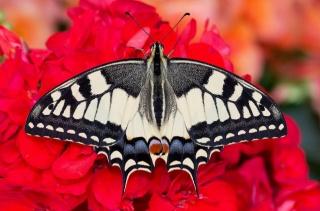 бабочка, красота, цветок