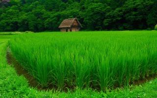 зеленый, рис, дом, трава, лес, поле